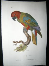 Shaw C1800's Antique Hand Col Bird Print. Grand Lory Parrot